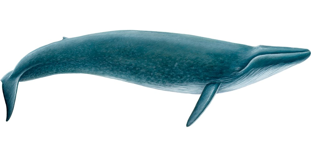 Blue whale (Balaenoptera musculus)