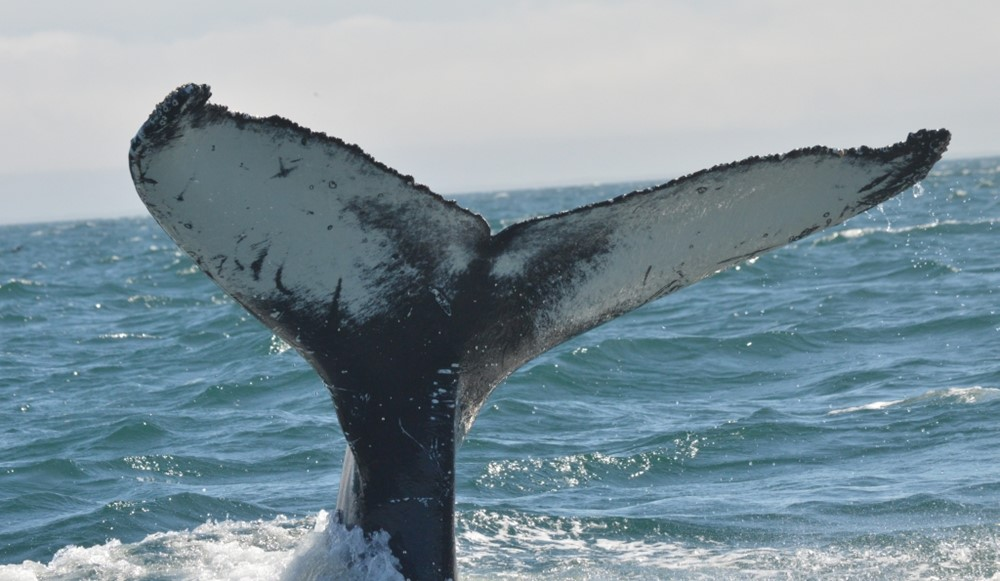 Humpback flukes are unique and can be used for identification