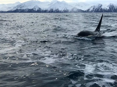killer whale approaching boat
