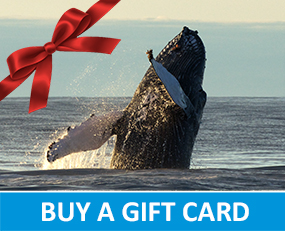 Buy a gift card whale watching Húsavík Iceland