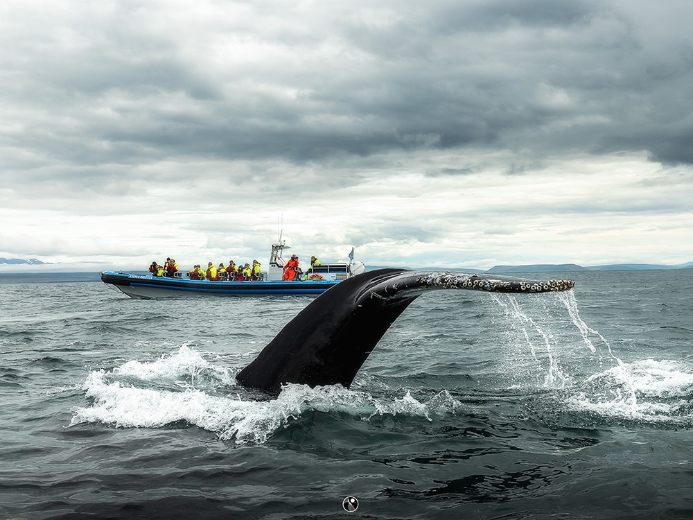 A humpback whale next to our RIB speedboat - Gentle Giants Whale Watching Húsavík Iceland