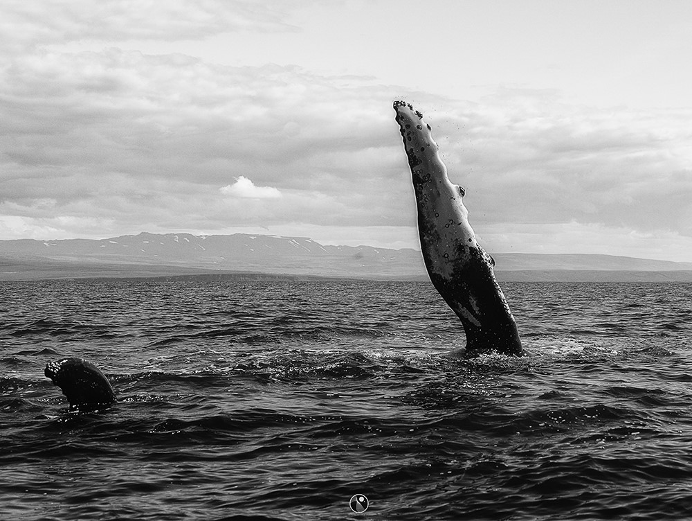 The humpbacks are known for being active and here is one showing its long flipper - Gentle Giants Whale Watching Húsavík Iceland