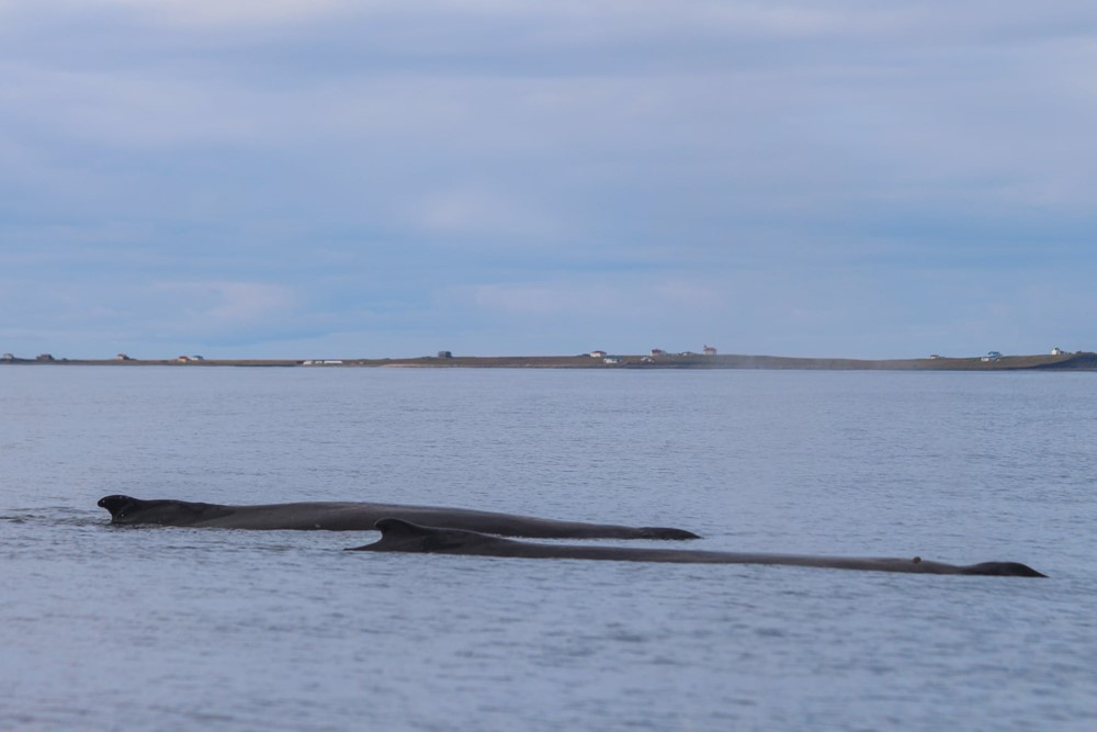 Two humpbacks surfacing with Flatey Island in the background - Gentle Giants Whale Watching Húsavík Iceland