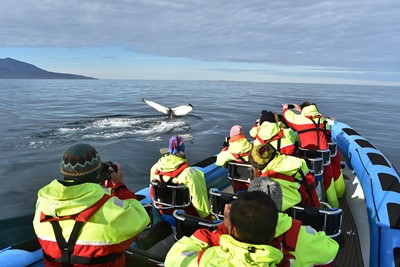 Humpback whale taking a deep dive next to Gentle Giants RIB speedboat, Húsavík Iceland